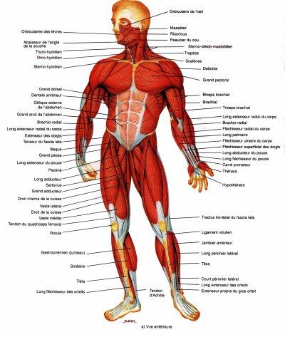 Muscles du corps humain